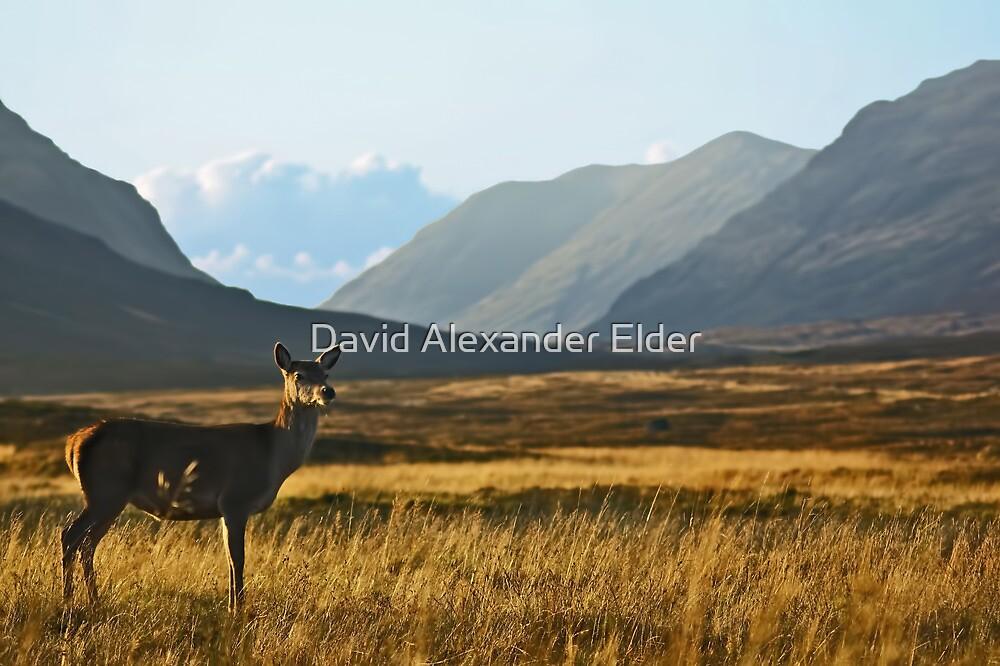 Wild Red Deer Grazing by David Alexander Elder
