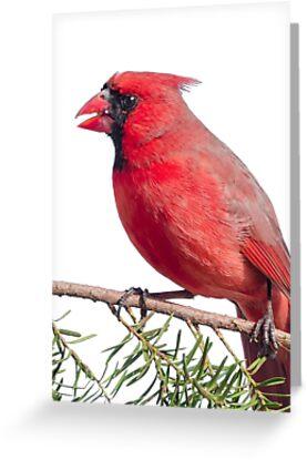 Male Cardinal in Minnesota winter by Jim  Hughes