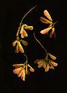 "Maple ""Wings"" by Barbara Wyeth"