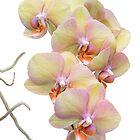 Yellow Orchids by Ann Garrett