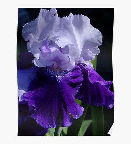 Mystique - Bearded Iris Poster