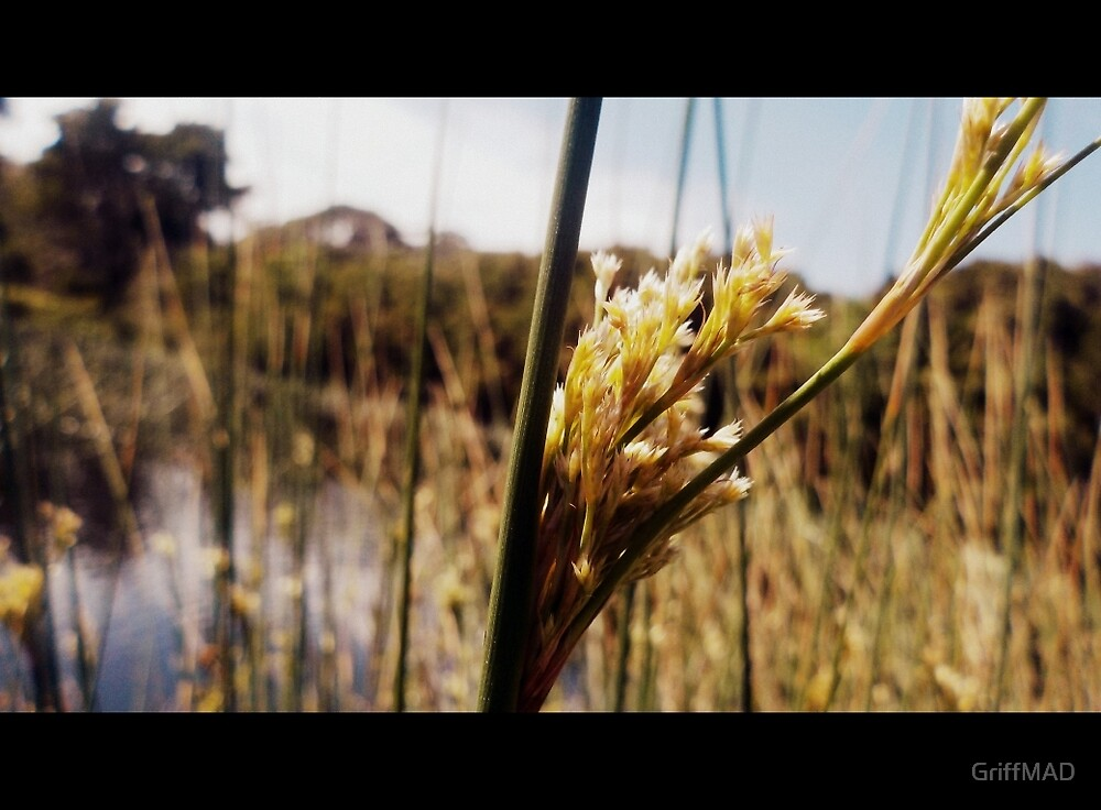Wetland Reeds by GriffMAD