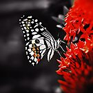 Butterfly on Red Flowers by Nhan Ngo
