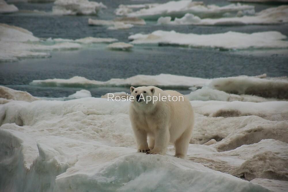 Polar Bear (Ursus maritimus) by Rosie Appleton