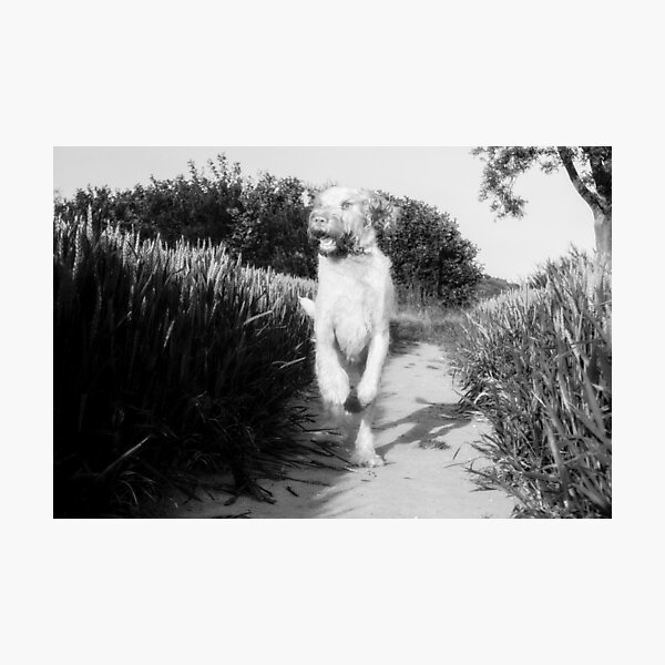 Where did that bird go Spinone Photographic Print