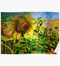 Home grown Sunflowers Poster