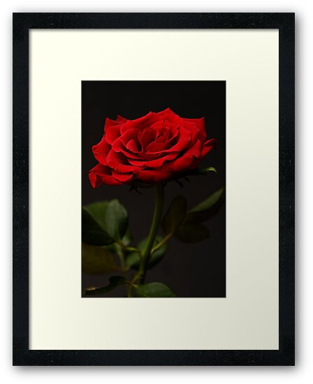 Red Rose by Steve Purnell