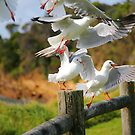 Seagull Cacophony by Erland Howden