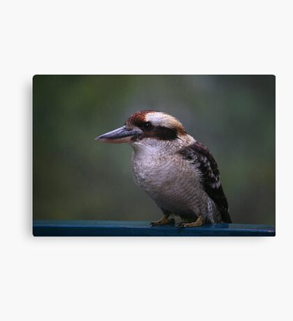 Wet Kookaburra Canvas Print