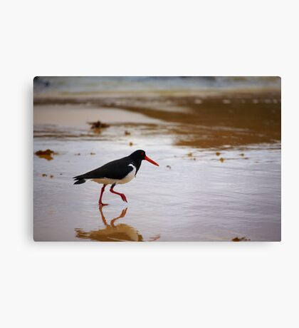 Oystercatcher Canvas Print