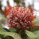 Banksia coccinea by kalaryder