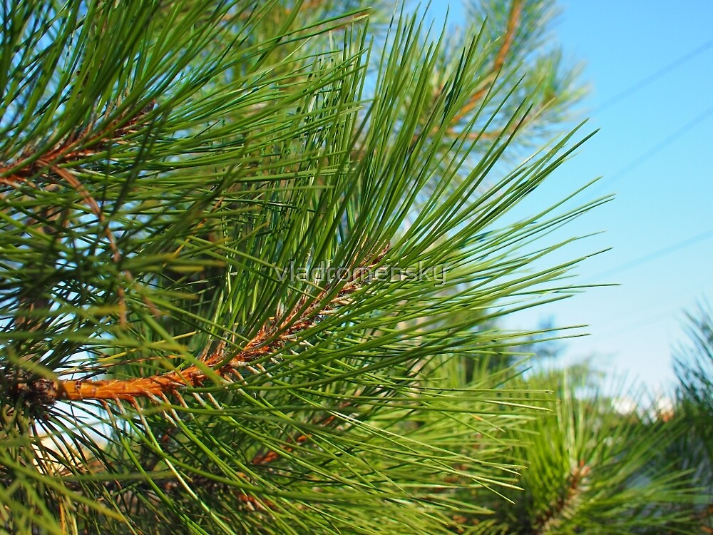 Side view of a young pine tree branch with long needles by vladromensky