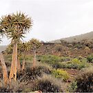 WINTER IN AFRICA - QUIVER TREE FOREST, NAMAQUA von Magriet Meintjes
