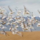 Ring-billed Gull Blast-off Pan-blur. by Daniel Cadieux