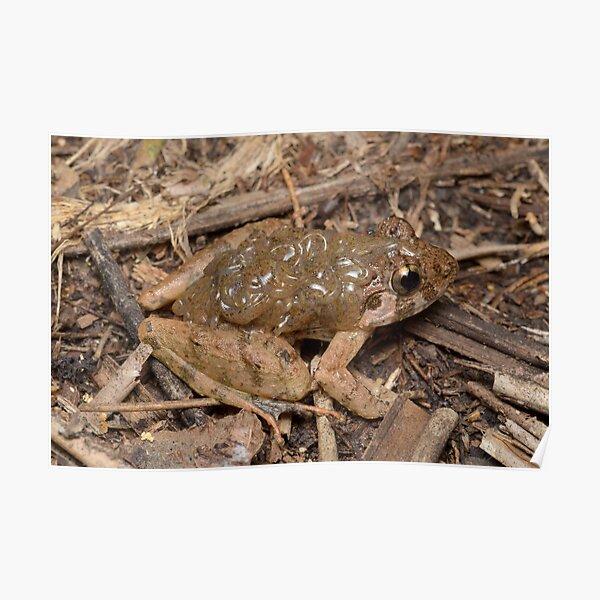 Rough guardian frog - Limnonectes finchi Poster