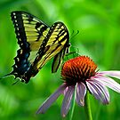 Swallowtail on Coneflower by Robin Clifton