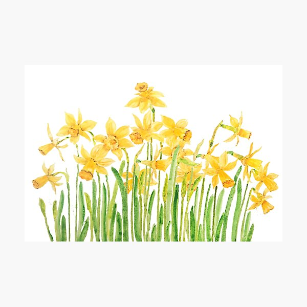 yellow daffodils field watercolor Photographic Print