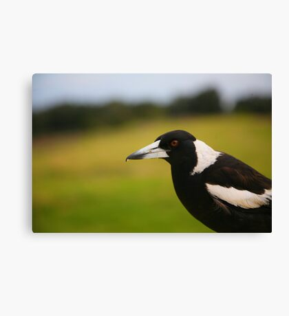 Magpie, Crowdy Head Canvas Print