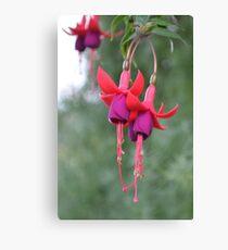 Hanging Fuschia Flowers Canvas Print