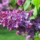 A Scent Of Spring by Linda Miller Gesualdo