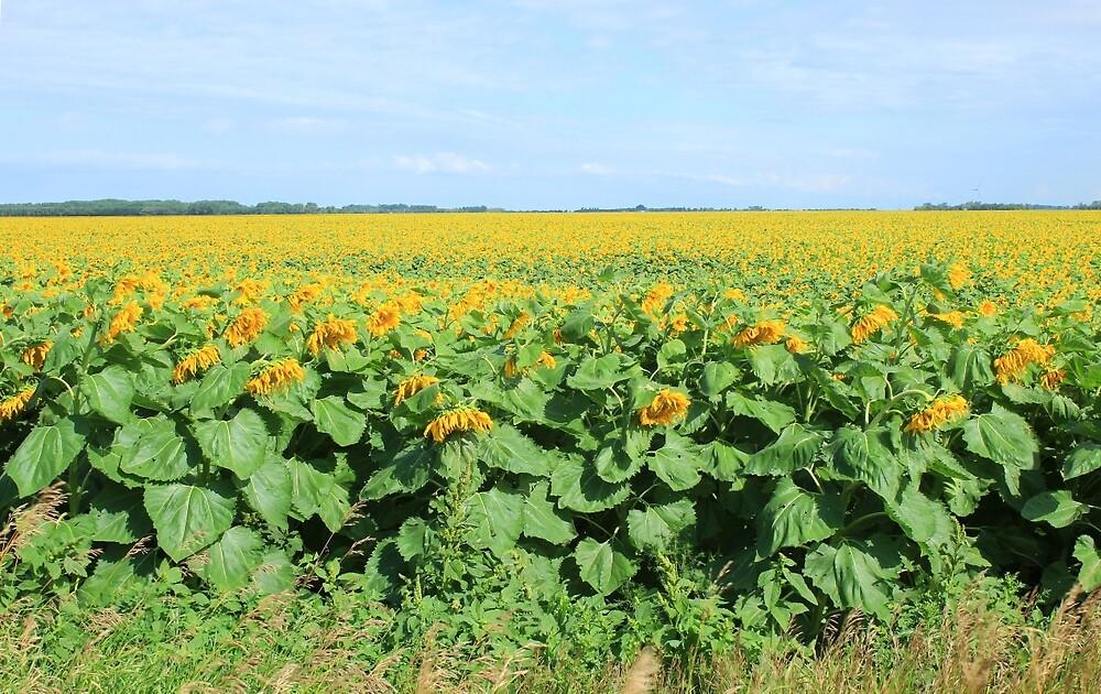 Field of Sunflowers in Altona by rhamm