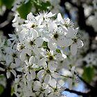 Bradford Pear Blossoms by CatKV