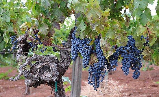 Vineyard by AZLiane