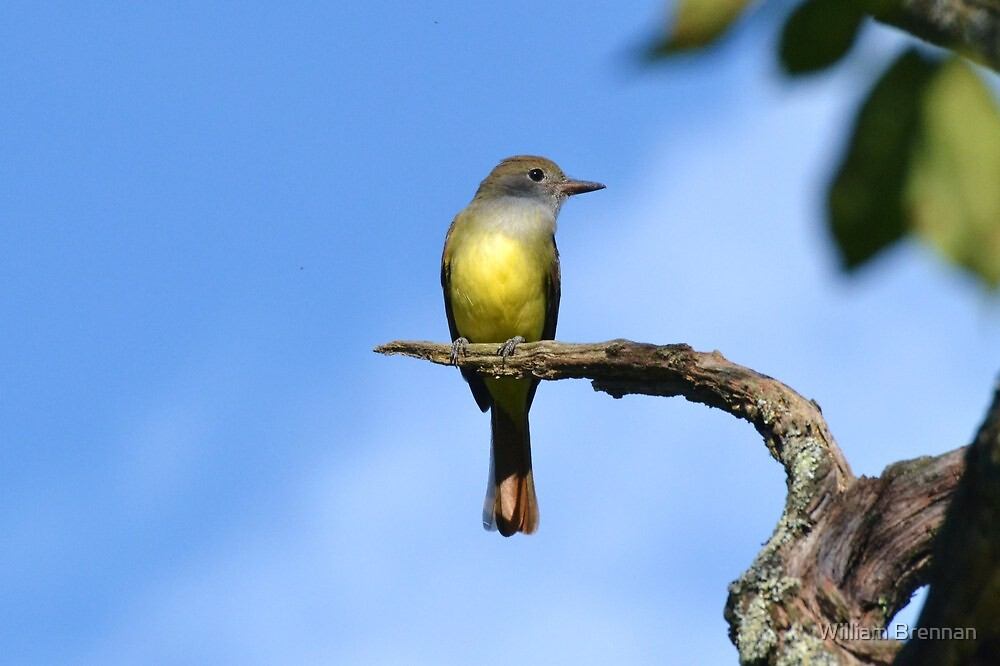 Great Crested Flycatcher by William Brennan