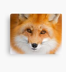 Fox Stare Canvas Print