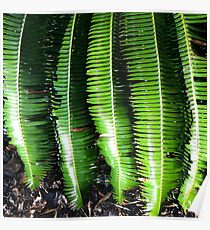 Dioon Spinulosum Poster