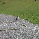 Penguin in Argentinan Patagonia by SkiCC