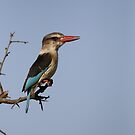Brown-hooded kingfisher by Yves Roumazeilles