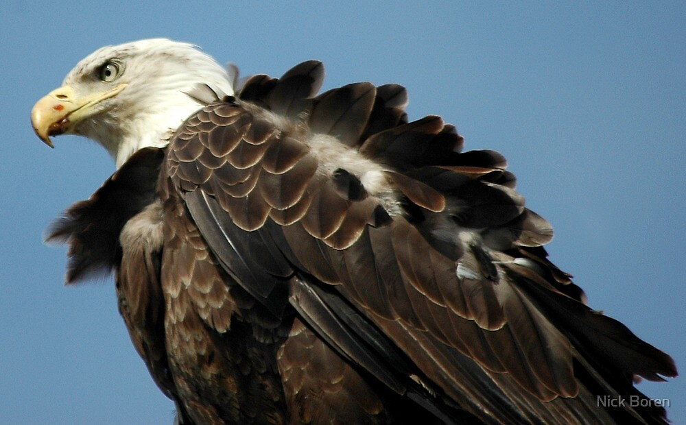 Alaskan Bald Eagle by Nick Boren