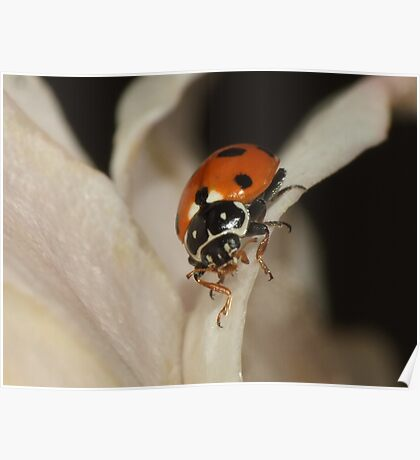Spotted Amber Ladybird - Hippodamia variegata Poster
