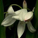 Lily by binjy