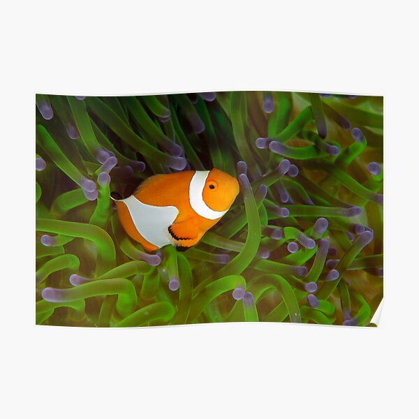 False Clown Anemonefish - Amphiprion ocellaris Poster