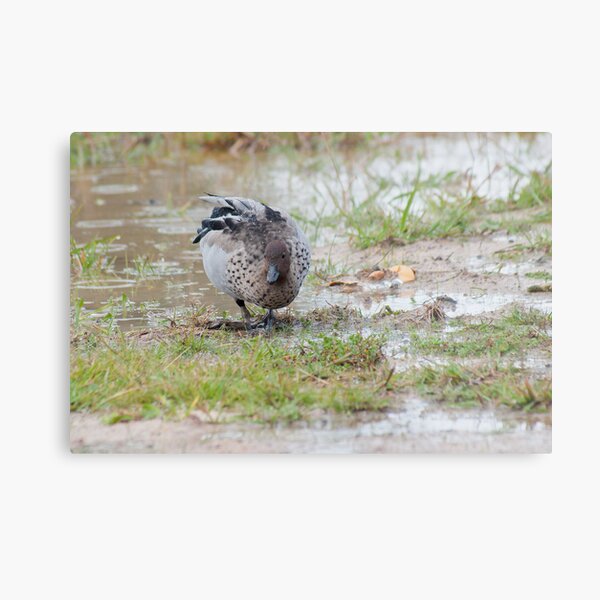 Australian Wood Duck (Chenonetta jubata) Metal Print