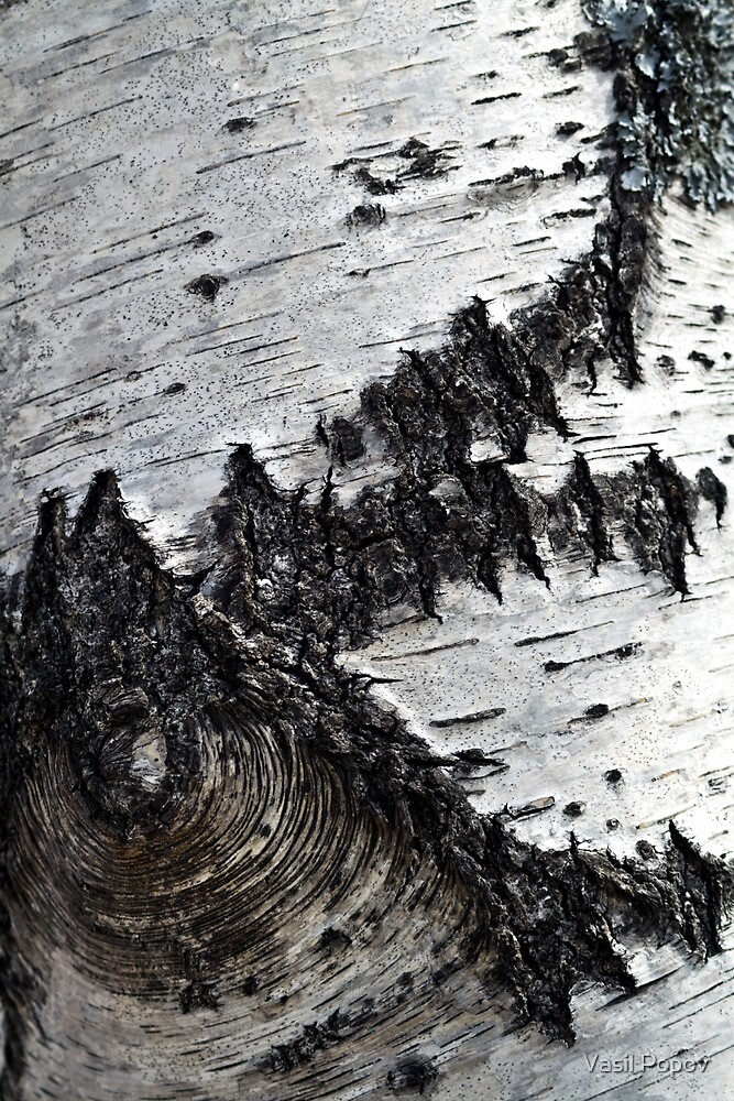 birch bark   by Vasil Popov