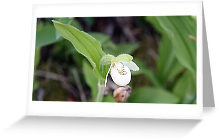 Sparrow's-egg Lady's-slipper - Cypripedium passerinum by Leslie van de Ligt
