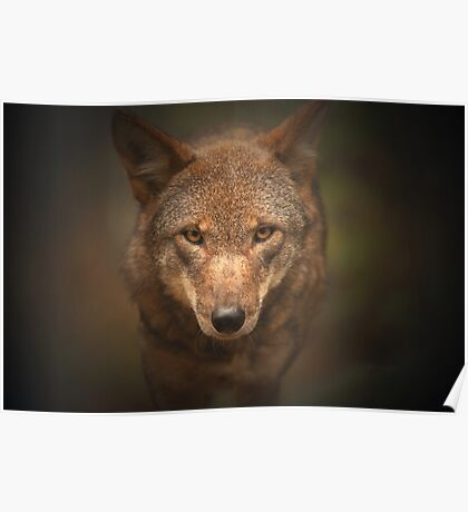 Wolf Stare Poster