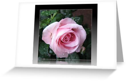 Delicate Pink Rose in Reflection Frame by BlueMoonRose