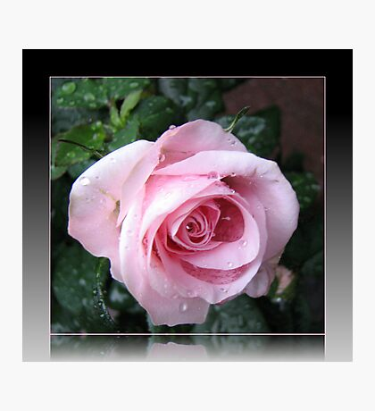 Delicate Pink Rose in Reflection Frame Photographic Print