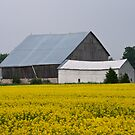 Yellow Field and Barn, Grey County by Skye Hohmann