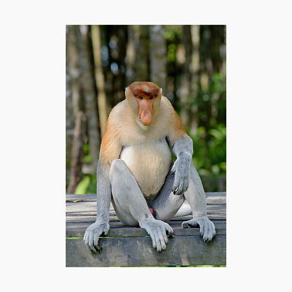 Male proboscis monkey - Nasalis larvatus Photographic Print