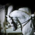 Lipizzaner Stallion by chrstnes73