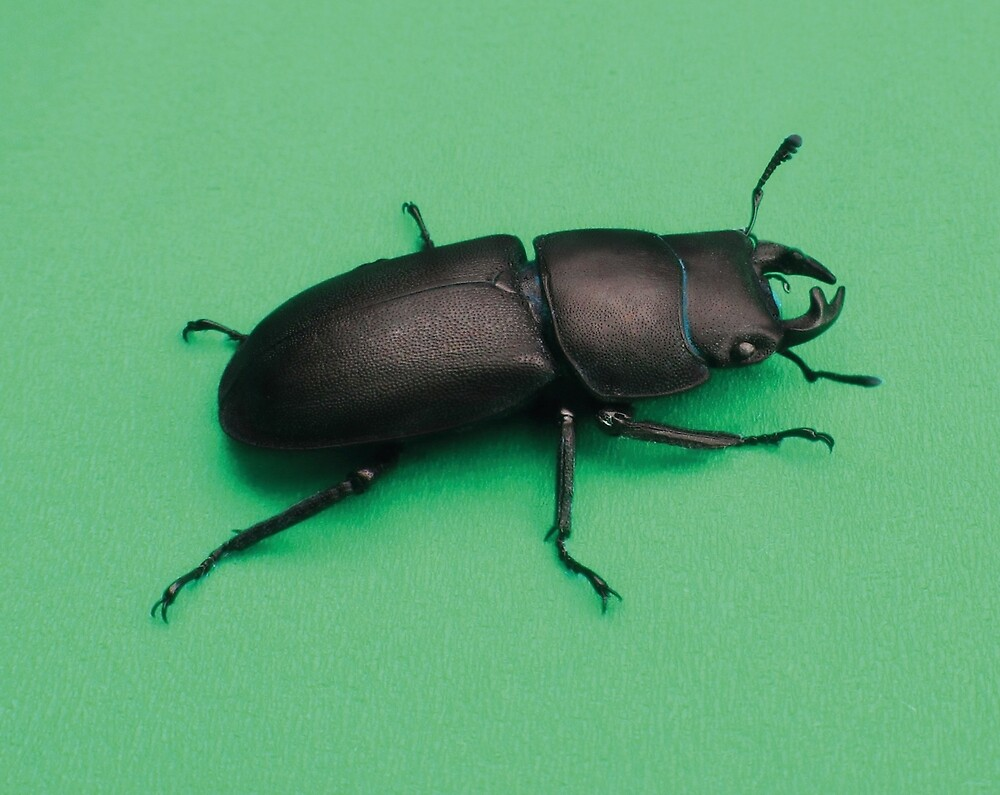 stag beetle 2 by Rebekka  Schönefuß