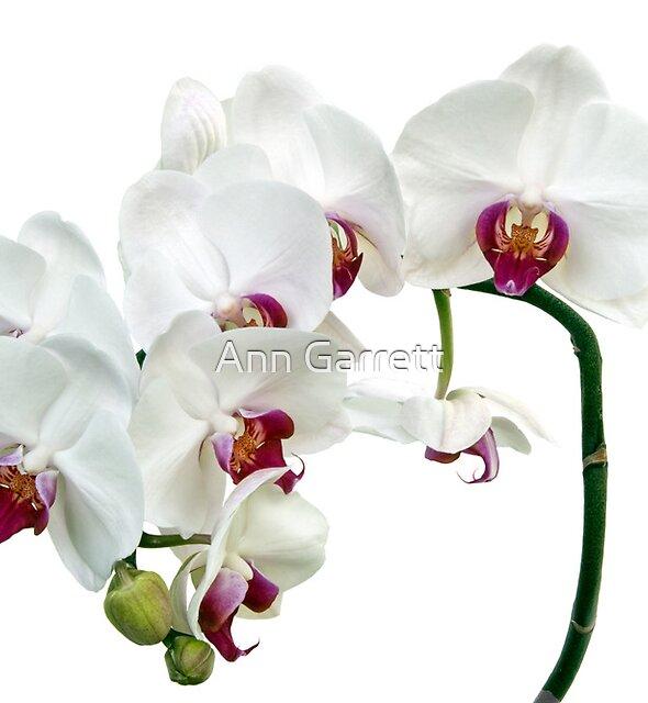 White Orchids by Ann Garrett