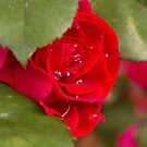 Red Rose with water drops by Margarita K