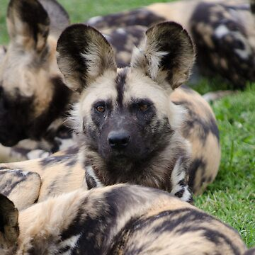 African Painted Dog iPhone case by bfra