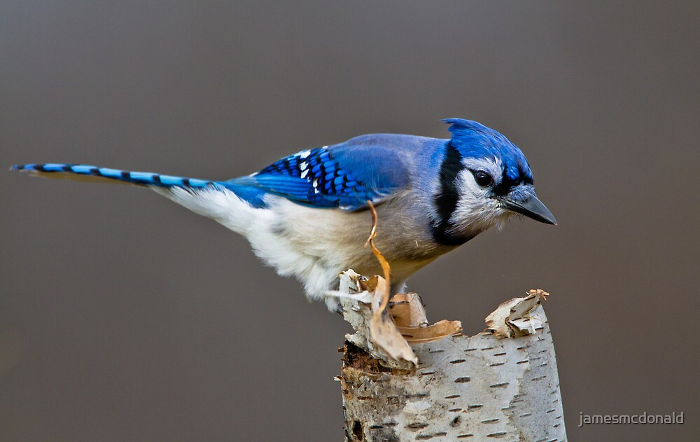 Even blue jays get the Blues  by jamesmcdonald